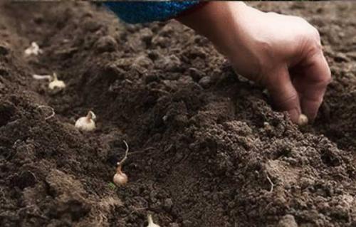 Как сажать лук под зиму и, чтобы был крупный. Преимущества и недостатки осенней посадки лука