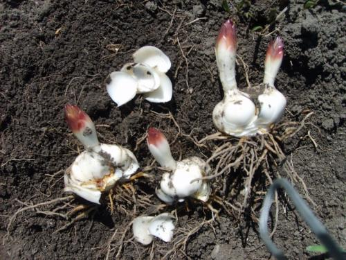 Посадка лилий осенью: когда и как сажать в открытый грунт