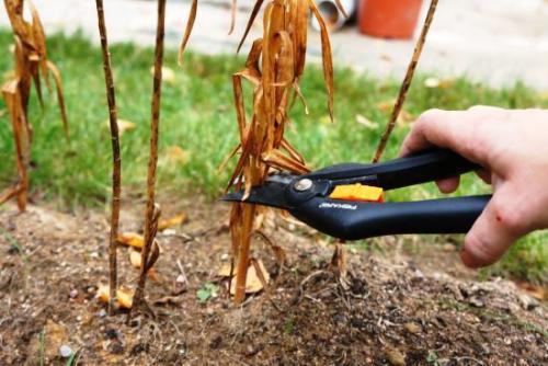 Подготовка лилий к зиме время обрезки. Время и правила обрезки