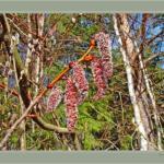 Природные подсказки.  - Появились серёжки на клёнах - можно сеять свеклу.