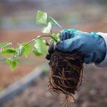Знаете ли вы, что от правильной посадки клематиса зависит общее развитие и состояние растения?