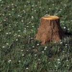 Как удалить пень дерева.