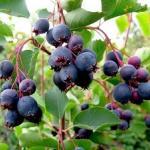 Ирга - семечковый плодовый кустарник или небольшое дерево семейства розоцветных, подсемейства яблоневых.
