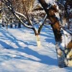 Уход за подмерзшими деревьями.