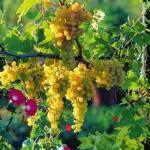 Десертные сорта винограда для средней полосы.
