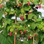 Малиновое дерево?  В действительности, малинным деревом условно называют группу сортов штамбовой малины.