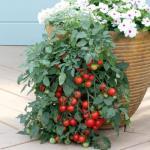 Ампельные помидоры.  Какие всё таки неугомонные дачники!