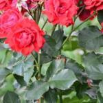 Для защиты роз от от ржавчины, пятнистости и мучнистой росы хорошо помогает следующее средство.
