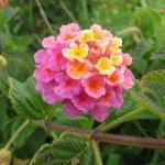 Лантана в саду. Мало кто из дачников знает такой необычный цветок как лантана.