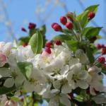 Уход за яблонями весной.
