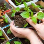 Сроки посадки рассады овощей.