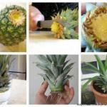 Как вырастить ананас.