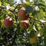 Как посадить грушу, чтобы быстро получить урожай.