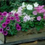 Секреты обильного цветения петунии.