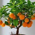 Как вырастить мандарин из косточки в домашних условиях.