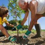 Мы сажаем фруктовые деревья правильно.