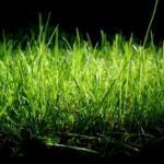 Как посеять газонную траву на дачном участке.