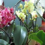 Мы подкармливаем орхидею для красивого цветения.