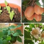 Мы выращиваем киви дома.