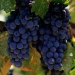 Как выращивать виноград без особых хлопот.