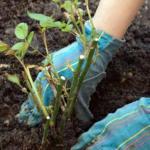Как вырастить здоровую розу?