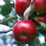Выращивание яблонь.  Яблоня - посадка и уход.