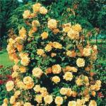 Выращивание плетистых рoз.