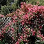 Как ухаживать за плетистыми розами?