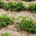 4 лучших удобрения для земляники садовой или клубники, как по старинке называют эту ягоду некоторые дачники.