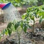 Полив овощей.  У правильного полива три основных условия: своевременность, регулярность, норма.