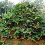 Выращивание оригинально клубнику.