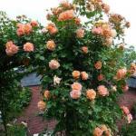 Мы сажаем в саду плетистые розы!