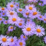 Альпийские астры.  Белые, розовые и голубые соцветия - ромашки будут уместны и на альпийской Горке, и в цветнике.